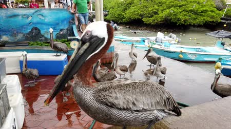 Galapagos, Ecuador - 2019-06-20 - Brown Pelican Walks Across Fish Counter.