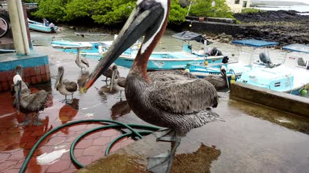 Galapagos, Ecuador - 2019-06-20 - Brown Pelican Walks Across Fish Sellers Counter. Stock Footage