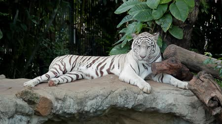 animal jovem :  Animal portrait of a white tiger. A young bengal tiger male, lying and roaring on cold air. The most beautiful animal and very dangerous beast of the world.