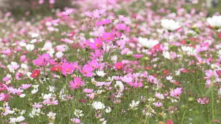 canteiro de flores : Field of pink and white flowers