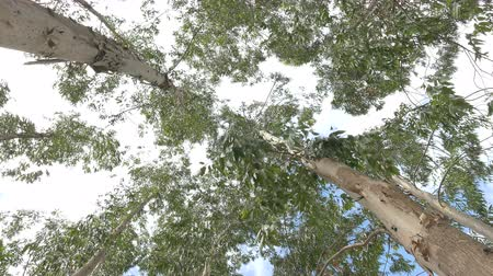 renovável : Eucalyptus leaf green tree against sky very high with sun light and environment background forest :Ultra HD 4K High quality footage size 3840x2160