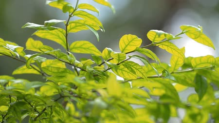 ortam : Green leaves tree in wind nature and environment,Full HD Stok Video
