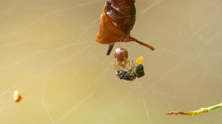 araneae : Spider insect is attacking a small wasp on the web blur background, macro :Ultra HD 4K High quality footage size 3840x2160
