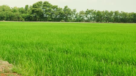 Rice field green grass landscape background with dolly slider scene Stock Footage