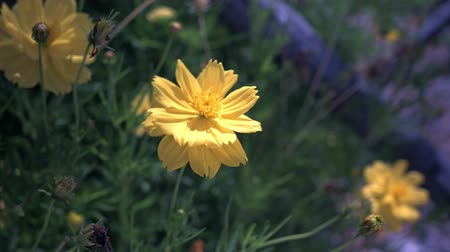 Yellow flowers are blooming in nature with mild wind and soft focus. Stock Footage