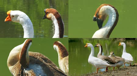 The geese are sunbathing in the morning near the natural water area.