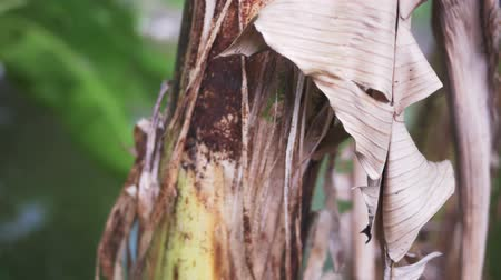Closeup of the bark of the banana tree with freshness and dryness.