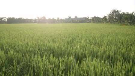 Rice field green grass and sunset landscape background