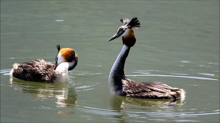 páření : Great crested grebes during mating season marriage dance