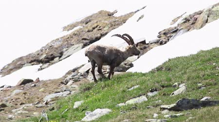 cabra : Ibex in high mountains in the Alps grazing, chewing scratching his head video footage