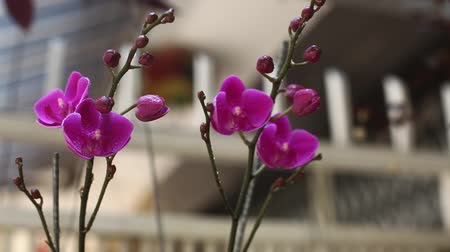 fuksja : Purple orchids in the garden. Vietnam