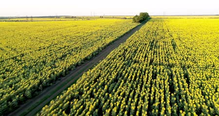 The scenic dirt road through sunflower fields. Aerial view.