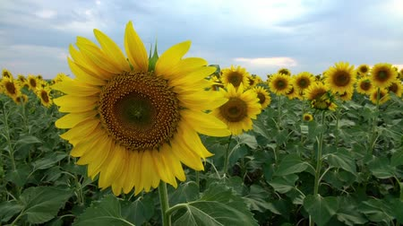 Scenic sunflower field on the sunset