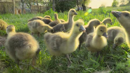 Little goslings eating grass on a poultry farm