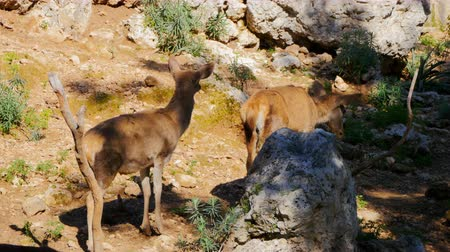 sob : Baby roe deers in the summer green forest Dostupné videozáznamy