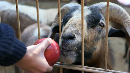 billy goat : Goat trying to eat an apple in the zoo Stock Footage