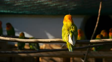 druh : Agapornis parrot sitting on the twig in the cage while another one fly to him