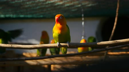 авес : agapornis parrot sitting on the twig in the cage