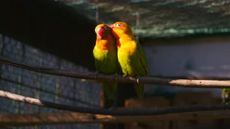 passerine bird : Couple of kissing agapornis parrots sitting on the twig in the cage