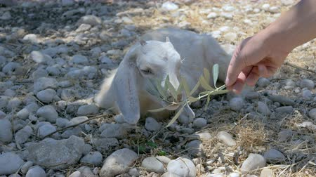 koza : Mans hand feeds a white baby goat that lying on the ground