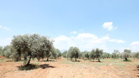 unripe : Wide view of green olive groove in summer windy day Stock Footage