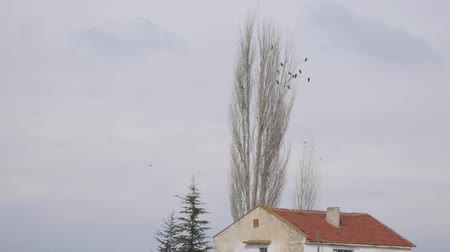 concourse : flock of crows sitting on an autumn poplar tree