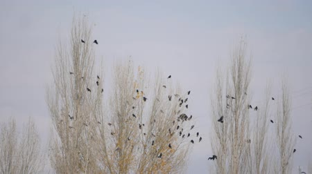 observação de aves : flock of crows sitting on an autumn poplar tree