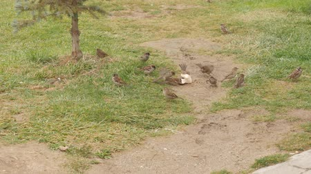 migalha : Group of sparrows eat bread on the ground in cold autumn time