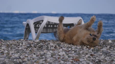 kleszcz : Homeless dog happily laying on the pebble beach