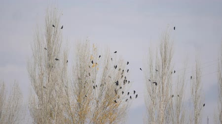 karga : flock of crows sitting on an autumn poplar tree