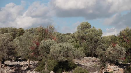 View of olive forest with clouds in the sky on background. Wind shakes trees