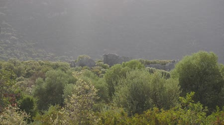 Panoramic of olive forest with ruins of ancient castleon background. Wind shakes trees.