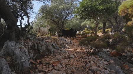 koza : Three wild goats walking along the road strewn with small stones in forest. Dostupné videozáznamy