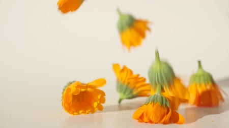 calendula blossoms : Closeup view of calendula heads falling on the table in slow motion