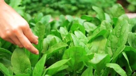 espinafre : woman hand picking some green spinach Stock Footage