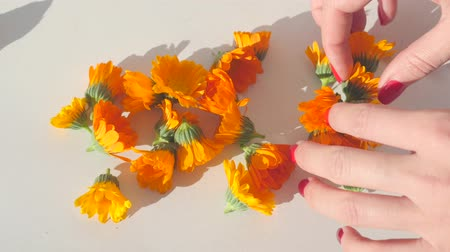 beauty products : Womans hand put calendula heads on white table to dry it
