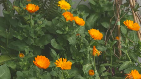 homeopathic : Beautiful calendula flowers after rain moving slowly on the wind
