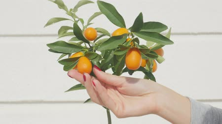 滋養物 : Womans hand touching kumquat berries and leaves. Exotic fruits gardening