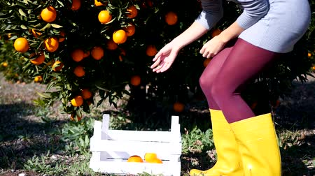 vegetativo : Closeup of young womans legs in yellow high boots, ripe oranges puted to the wooden basket. Orange garden background.