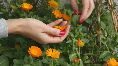 homeopathic : Picking calendula flower buds to dry and use in medical purposes