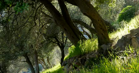 olivy : Olive trees in spring time and sun rays throught the branches