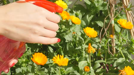 calendula officinalis : Watering calendula flowers with bottle spray garden watering can