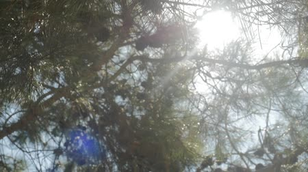 meşe palamudu : Sun shines brightly through pine tree. Cones grow on the branches. Pine tree evergreen Stok Video