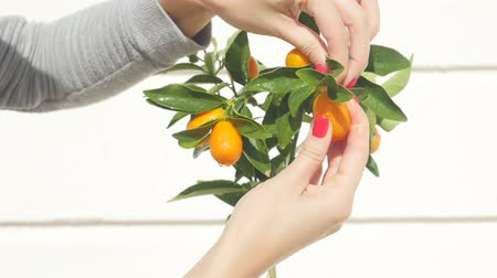 апельсины : Womans hand touching kumquat berries and leaves then pick one fruit. Exotic fruits gardening