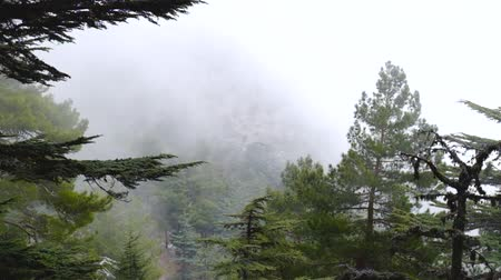 sedir : Timelapse of misty fog blowing over cedar tree forest at dusk in Turkey, Antalya province, Taurus mountains Stok Video