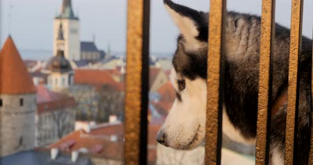gözlü : Brown eyed husky looking through the hence to old Tallinn from the high point of view