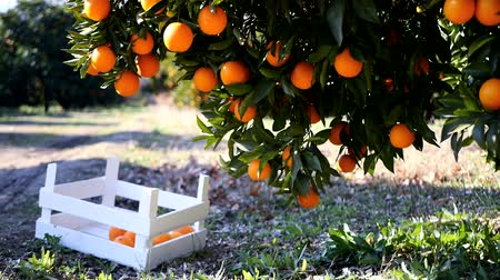 vegetativo : Closeup view on ripe oranges on a tree branch and in the wooden basket under it, Turkey orange gardens.