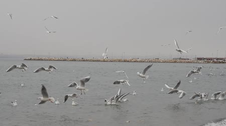 aves marinhas : Seagulls flying above the sea in Yalove near Istanbul Turkey, winter time Vídeos