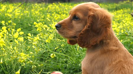 spanyel : Cocker Spaniel puppy in the field of beautifully blooming yellow spring flowers Stok Video