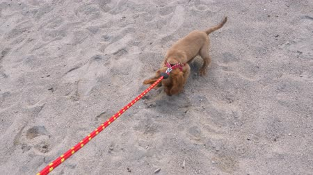 bontkraag : Impatient cocker spaniel puppy trying to escape from the leash